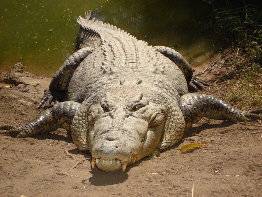 Saltwater crocodile (Crocodylus porosus). Photo flickreviewR (Talk_contribs)