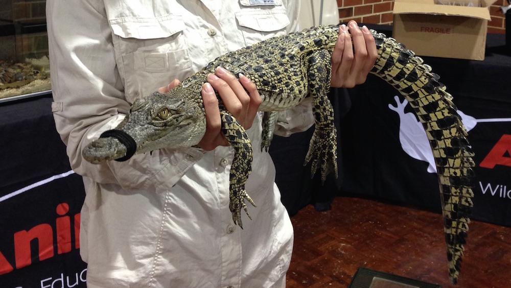 Saltwater crocodile from Broome Crocodile Park - WAHS Expo 2015. Photo Animal Ark