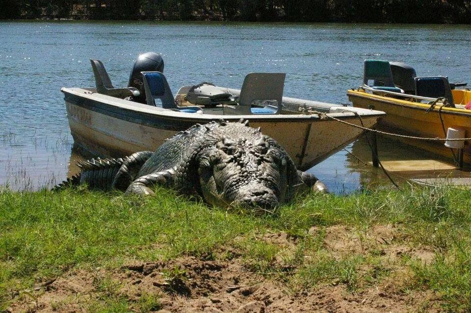 Saltwater crocodile Kununurra. Photo Travis Watts 2014