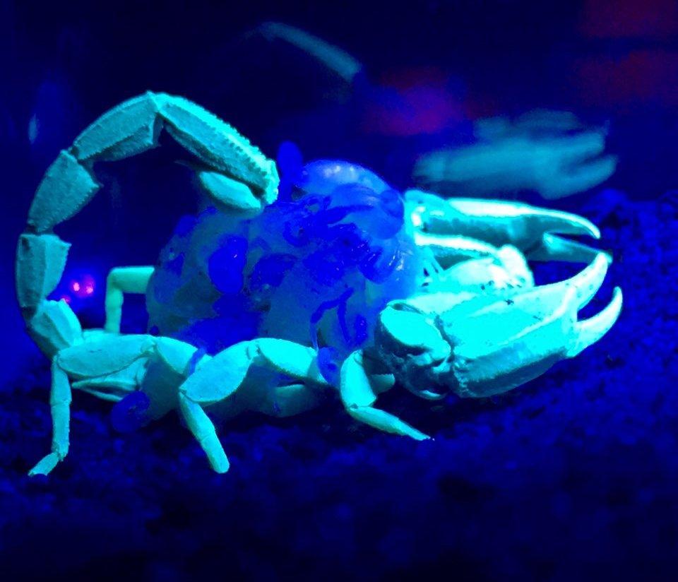 Scorpion and babies. Photo: Monica Iseppi / Animal Ark
