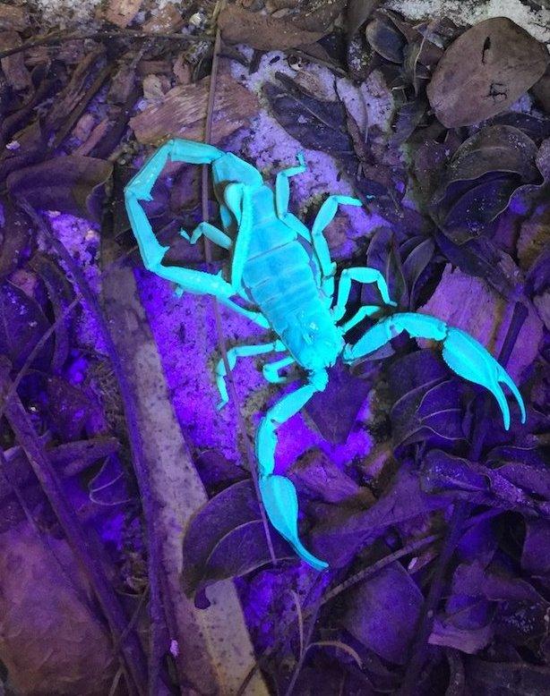 Scorpion under UV light. Photo Animal Ark