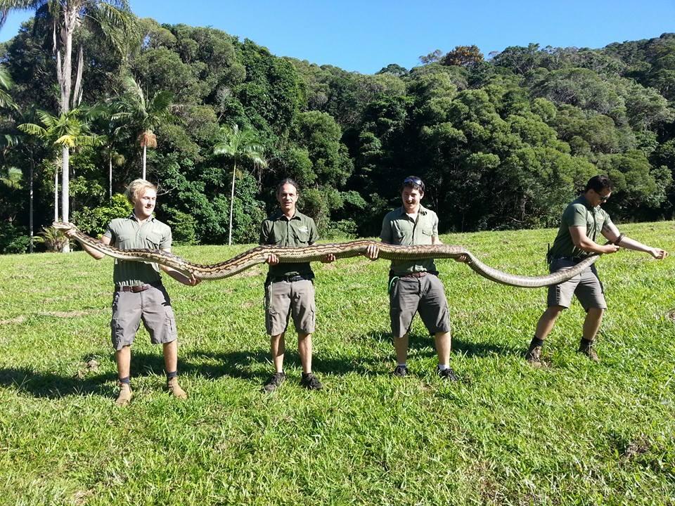 Scrub python (Morelia amethistina) Photo © Rainforestation Nature Park, Karunda Queensland