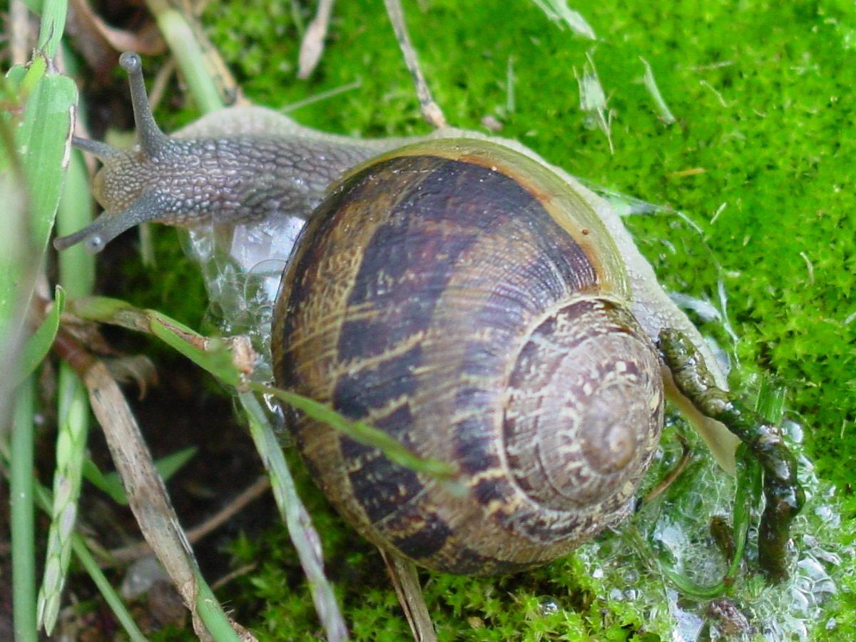 Snail with faeces. Photo: Luis Miguel Bugallo- Sanchez, Wikimedia Commons