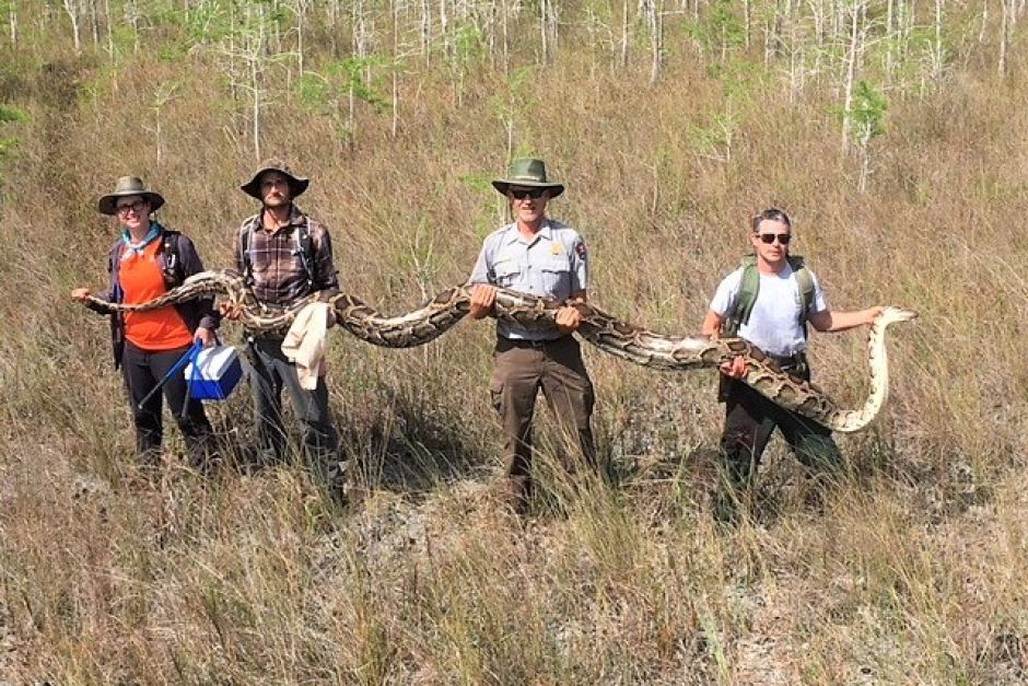 Snake hunters capture Burmese python, Florida Everglades. Photo: Big Cypress National Preserve