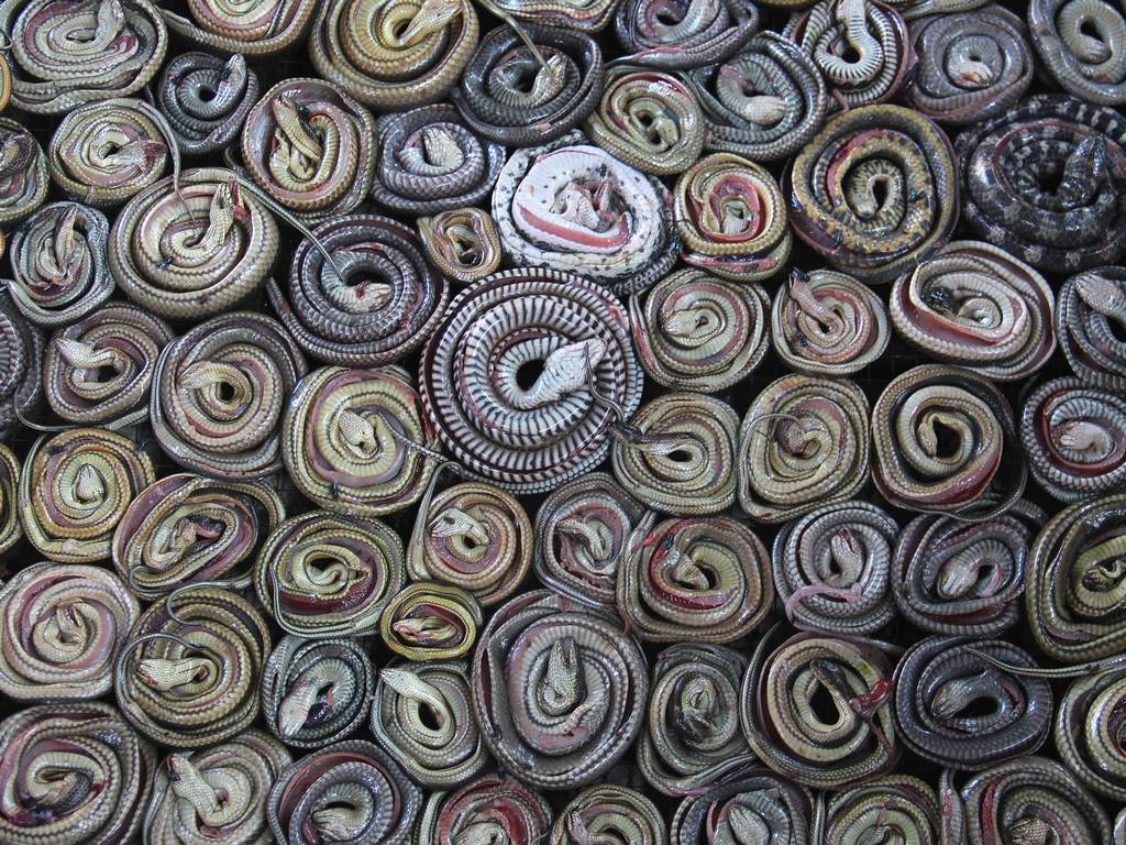 Snakes coiled for drying - Indonesia