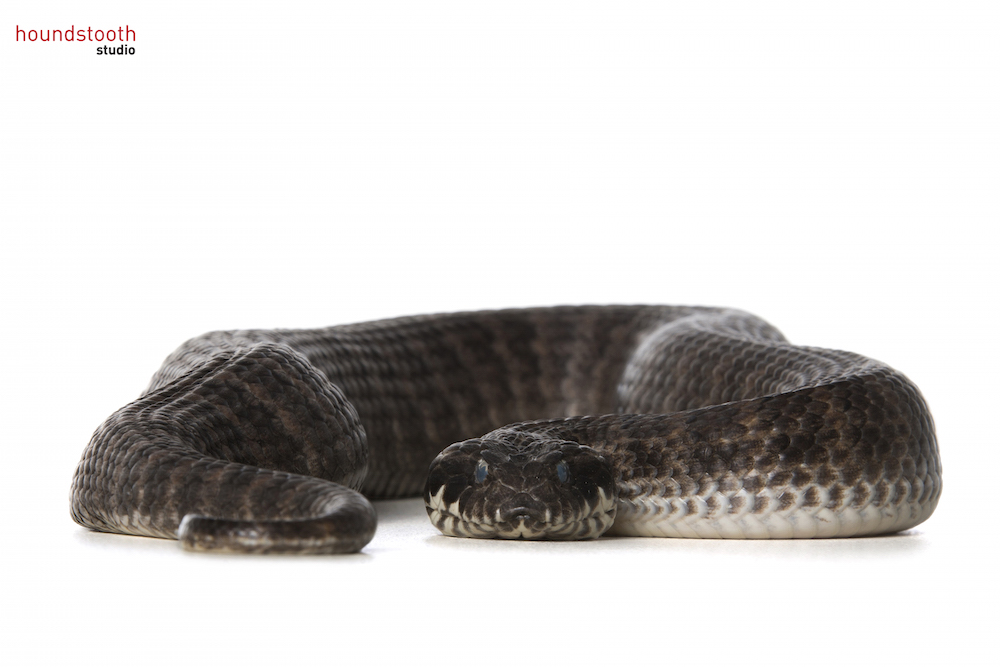 Southern death adder (Acanthophis antarcticus). Photo © Alex Cearns, Houndstooth Studio / Animal Ark