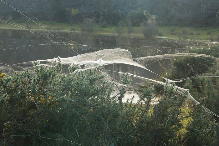 Spiders escaping floodwaters in Tasmania. Photo ABC Northern Tasmania, Rick Eaves