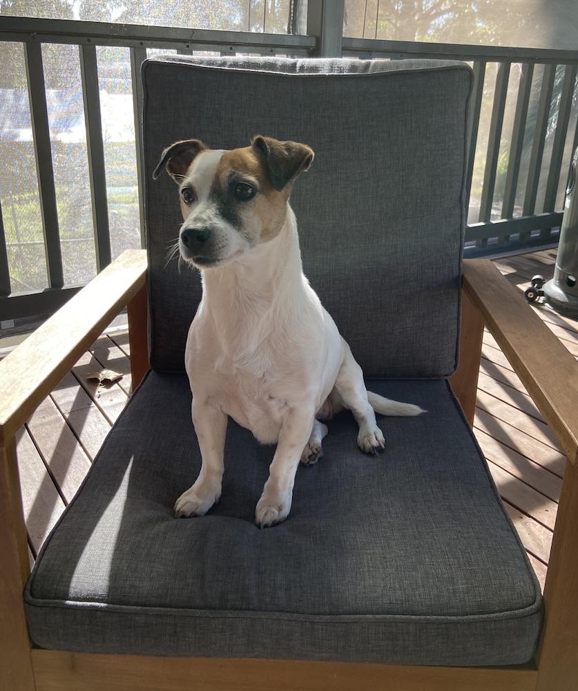 Stella JRT in the boss chair. Photo Animal Ark Snake Avoidance