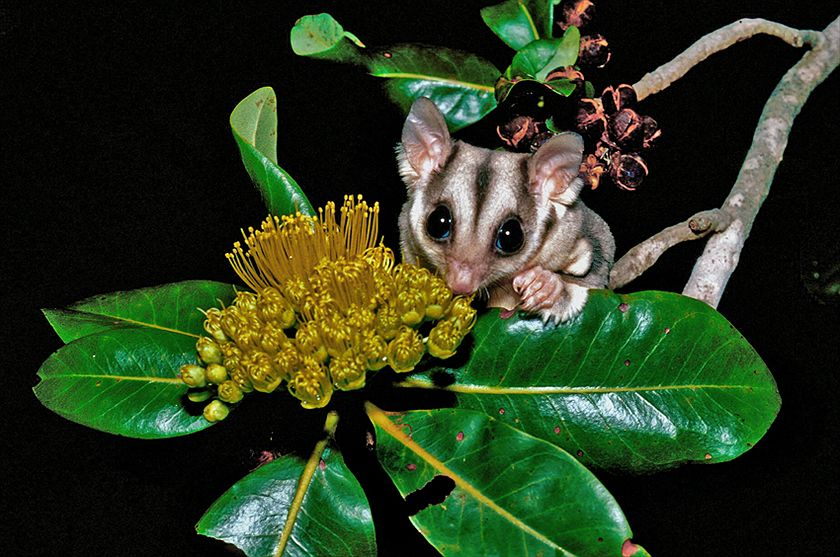 Sugar glider (Petaurus breviceps ariel) Photo: Ian Morris, Charles Darwin University