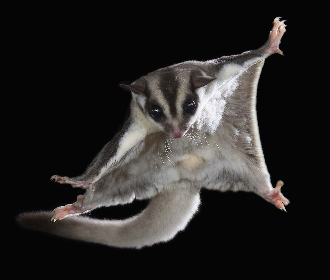 Sugar glider. Photo: Joe McDonald, Visuals Unlimited