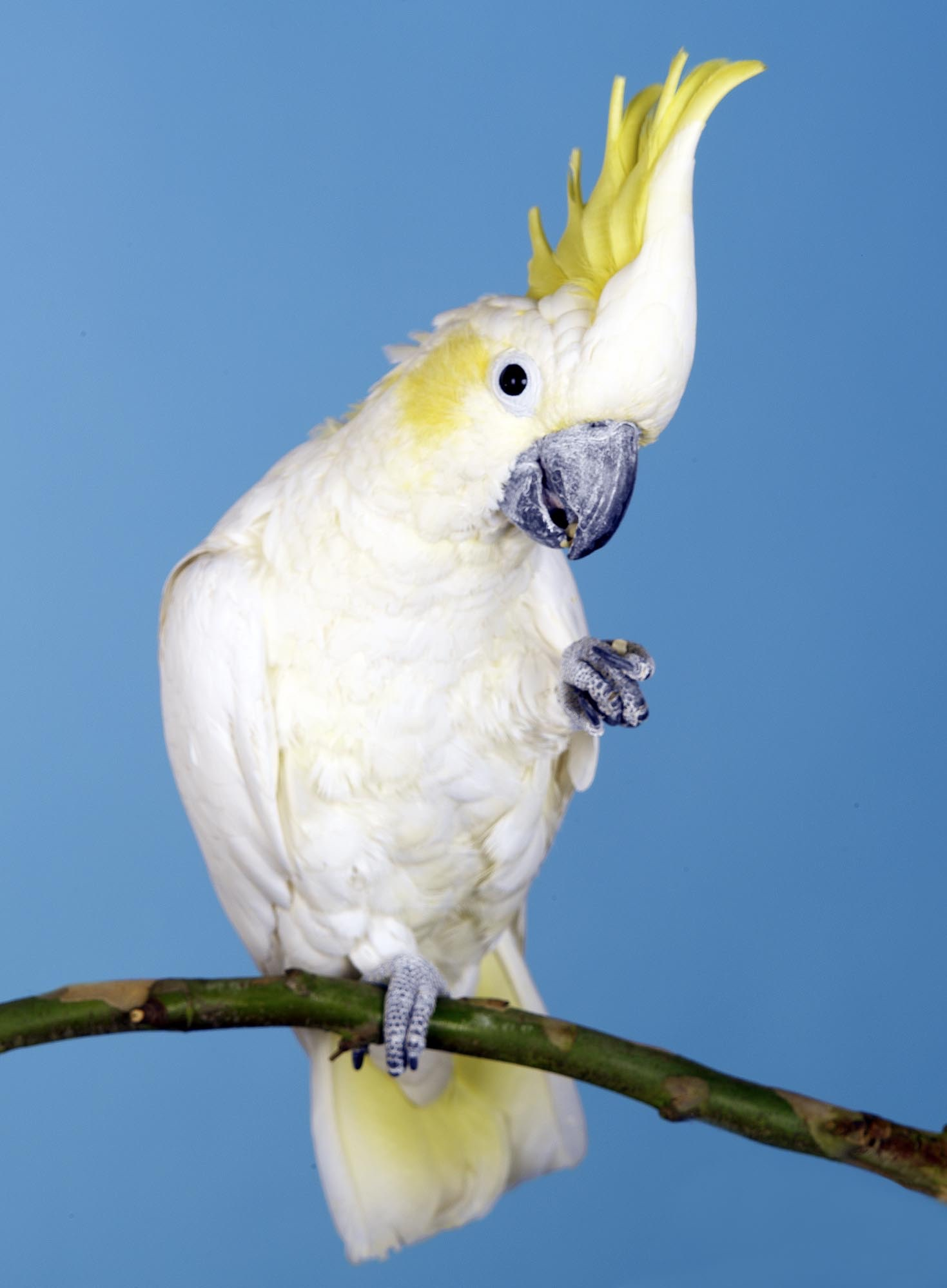 Sulphur crested cockatoo. Photo: Animal Ark