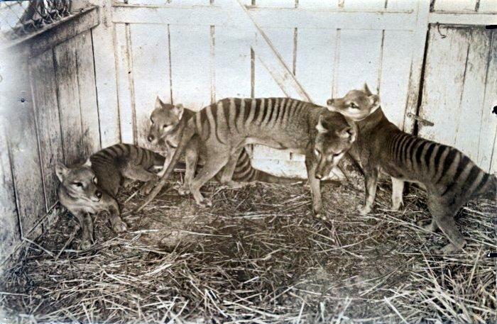 Tasmanian Tigers / Thylacines (Thylacinus cynocephalus). Beaumaris Zoo, Hobart 1910. Photo wikicommons