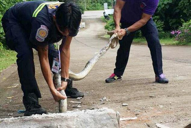 Three metre python stuck in drain cover - Phuket Thailand. Photo Daily Mail, UK