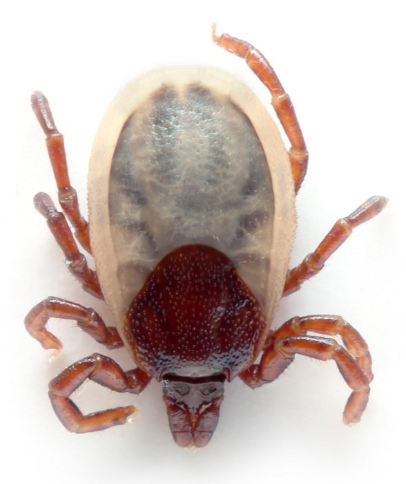 Tick (Ixodes hexagonus). Photo: Andre Karwath aka Aka, Wikimedia Commons