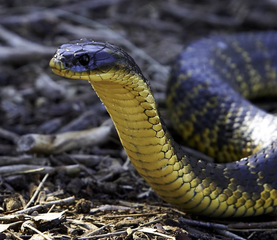 Tiger snake (Notechis scutatus) - head shot. Photo: Monica Iseppi / Animal Ark
