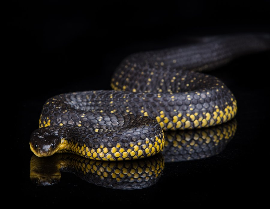 Tiger snake (Notechis scutatus). Photo: Karl Monaghan Photography / Animal Ark