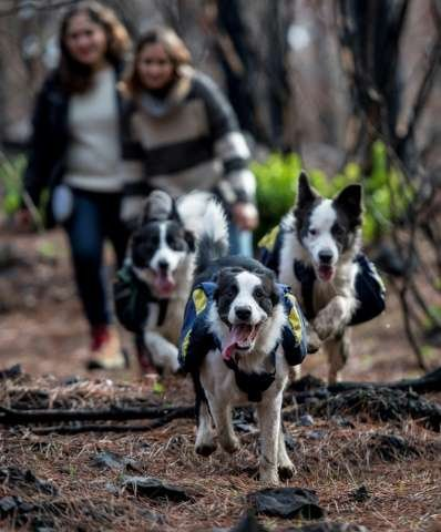 Trained border collies spreading native seeds. Photo: Phys.org