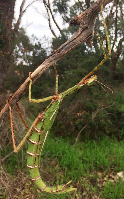 Twiggy, a Darwin stick insect (Eurycnema osiris). Photo: Animal Ark