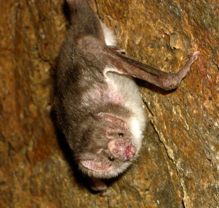 Vampire bat Desmodus rotundus. Photo: Acatenazzi, Wikimedia Commons