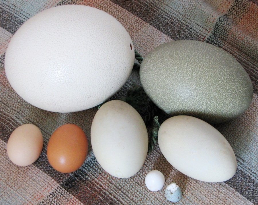 Various eggs: ostrich, cassowary, chicken (supermarket), chicken (country farm), flamingo, pigeon, blackbird. Photo: HTO Wikimedia Commons