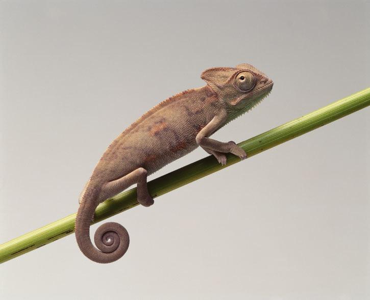 Veiled chameleon. Photo Animal Ark