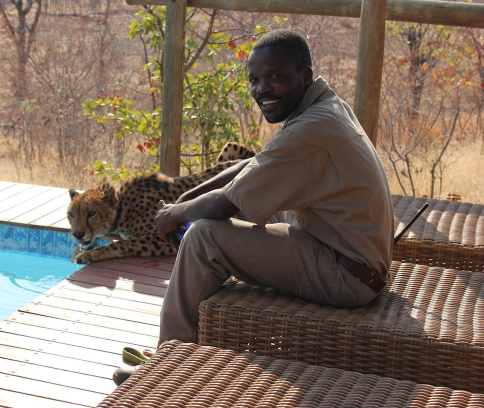 VFWT - Sylvester the cheetah with his carer at Elephant Camp, Victoria Falls. Photo: Animal Ark