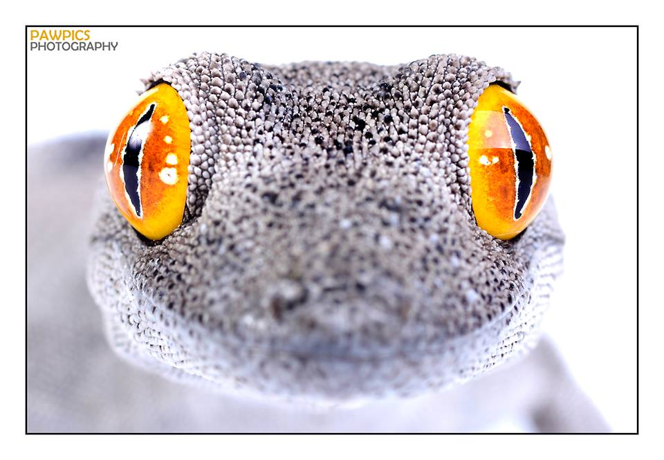 WAHS Expo 2015. Gecko Photo © Pawpics Photography