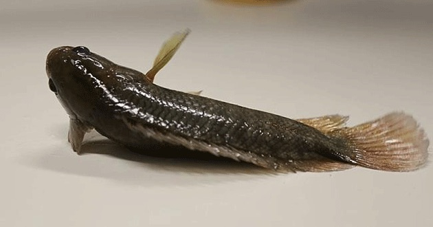 Walking fish can crawl across land and survive out of water for up to six days. Photo The West Australian - source JCU