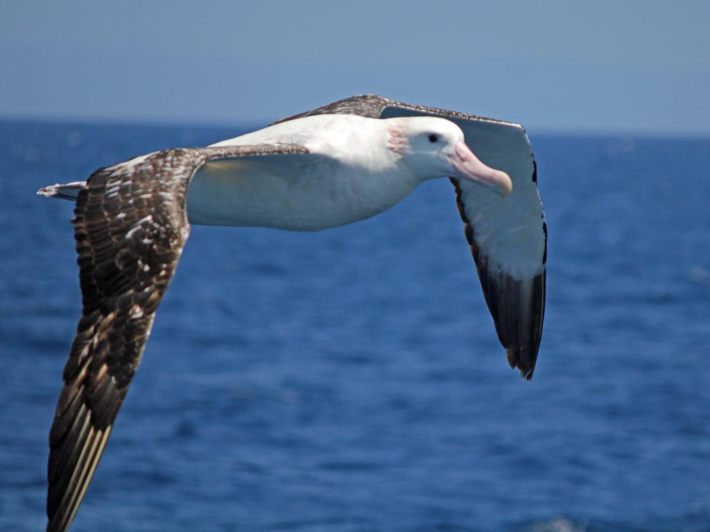 Wandering albatross (Diomedea exulans) Drakes Passage. Photo: 3HEADEDDOG, Wikimedia Commons