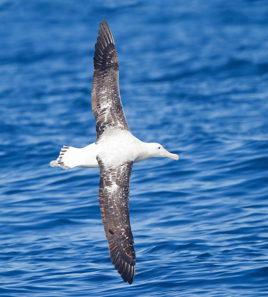 Wandering albatross (Diomedea exulans) in flight. Photo: JJ Harrison, Wikicommons media