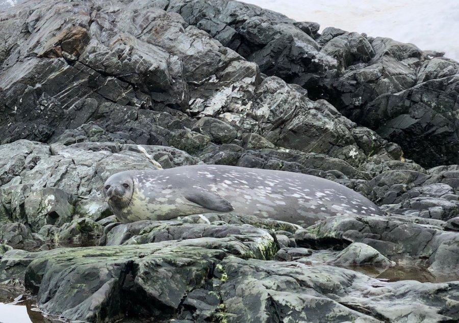 Weddell seal (Leptonychotes weddellii), Antarctica. Photo: Animal Ark