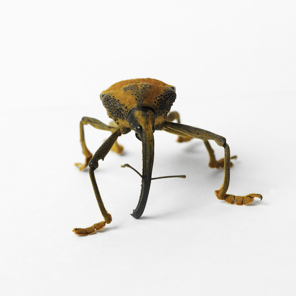 Weevil. Photo Animal Ark