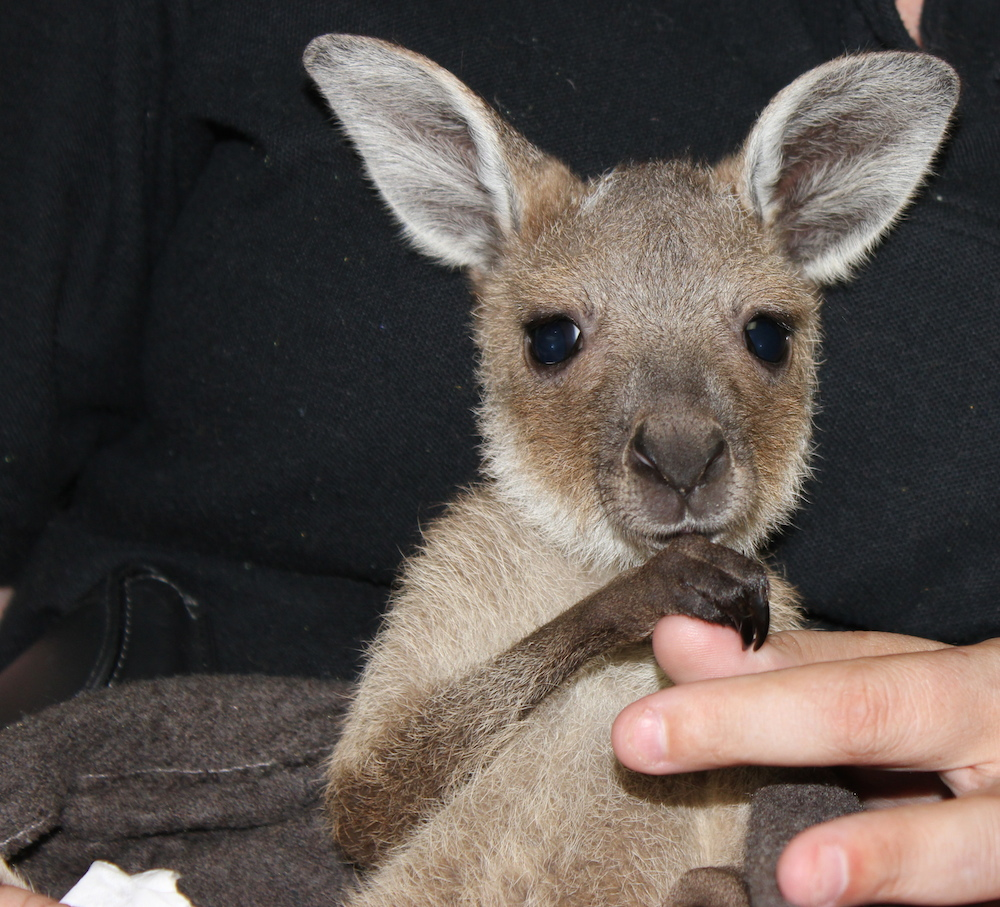 Western Grey kangaroo joey. Photo © Animal Ark