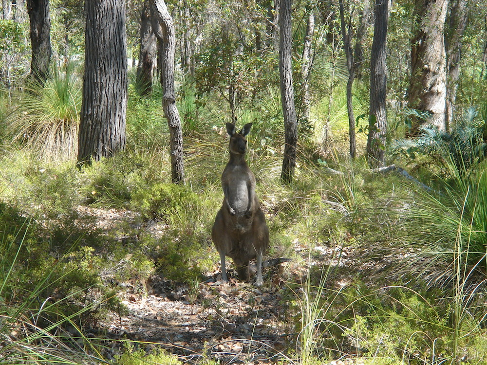 Western Grey kangaroo (Macropus fuliginosus). Photo © Animal Ark, Western Australia