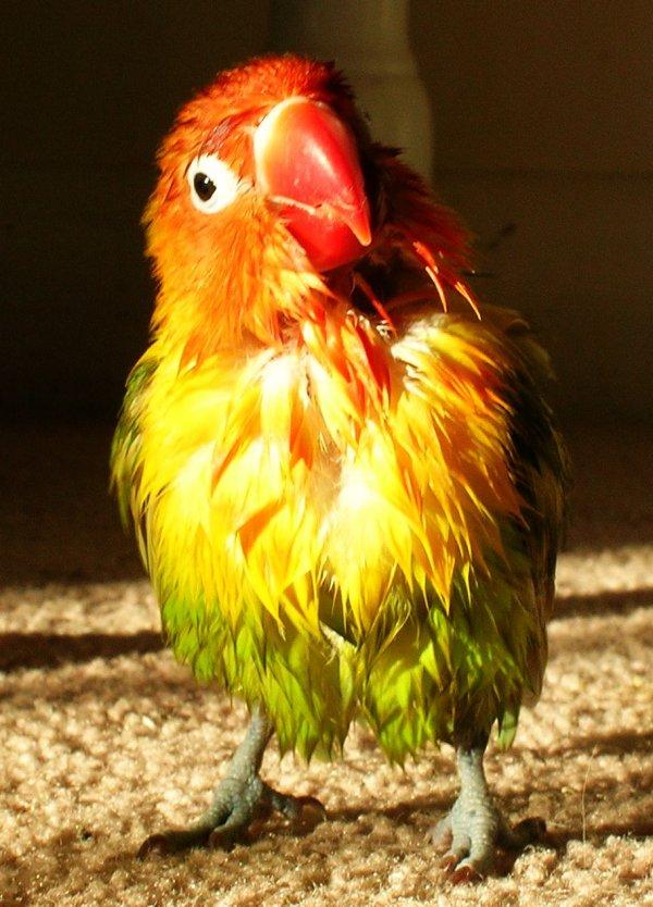 Wet lovebird. Photo: TheAlphaWolf, Wikimedia Commons