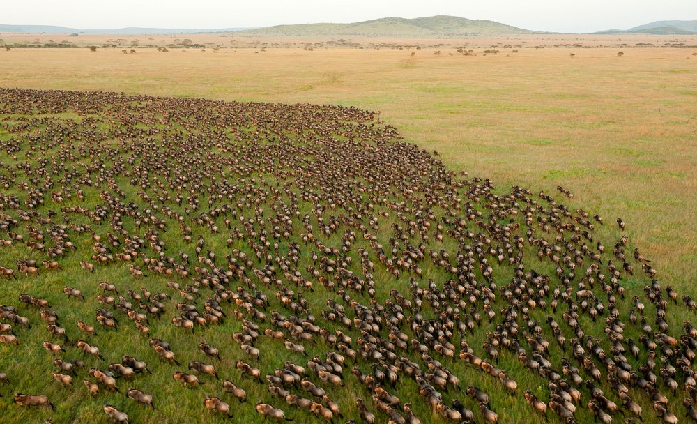 Wildebeest migration in Serengeti National Park, Tanzania. Photo: Daniel Rosengren Wikimedia Commons