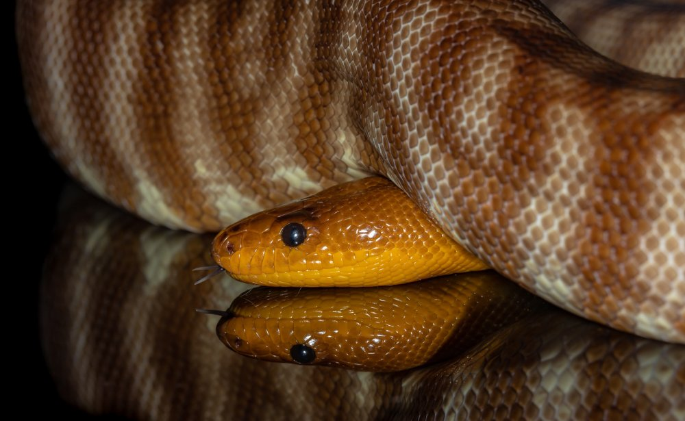 Woma python (Aspidites ramsayi). Photo: Ken Lawson / Animal Ark.