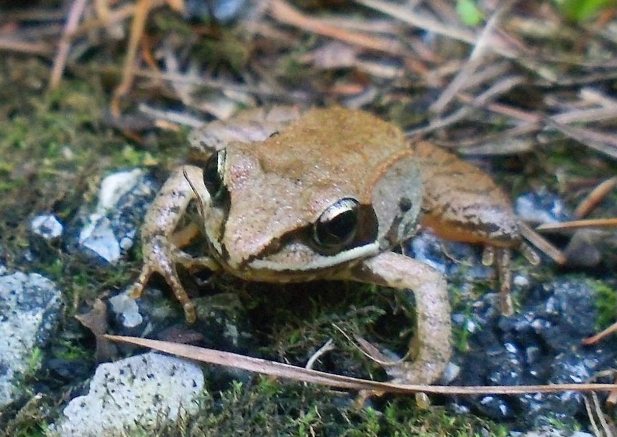 Wood frog (Rana sylvatica). Photo: Emilyk, Wikimedia Commons