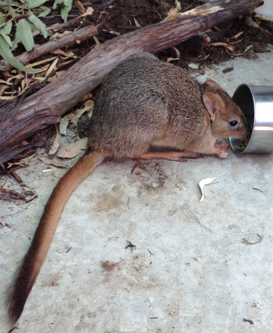Woylie or Brush tail bettong (Bettongia penicillata). Photo Animal Ark / NAR