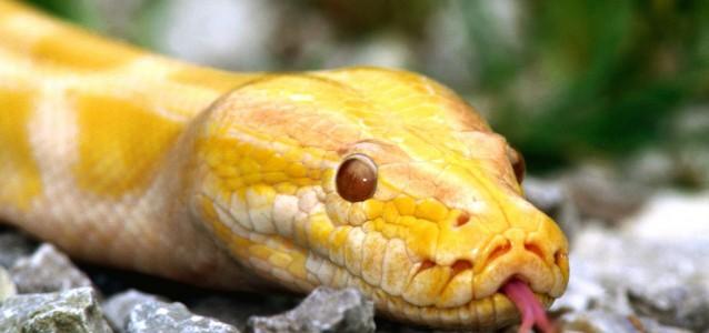 A xanthic (yellow pigmented) Burmese python (Python molurus bivittatus)