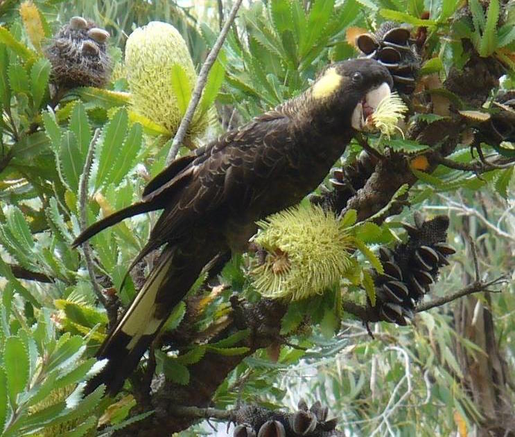 Yellow tailed black cockatoo (Calyptorhynchus funereus). Rocky Cape National Park. Photo Twiddleblat, Wikicommons
