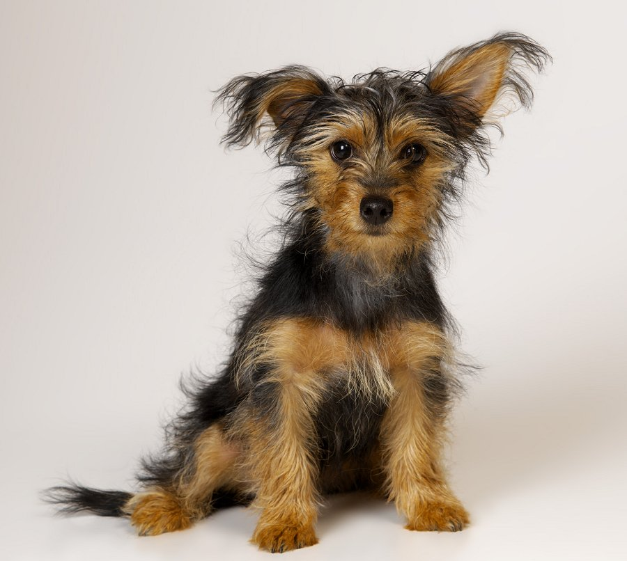 Yorkshire terrier puppy. Photo: Animal Ark