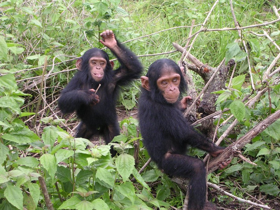 Young chimpanzees from Jane Goodall sanctuary of Tchimpounga Congo Brazzaville. Photo: Delphine Bruyere, Wikimedia Commons