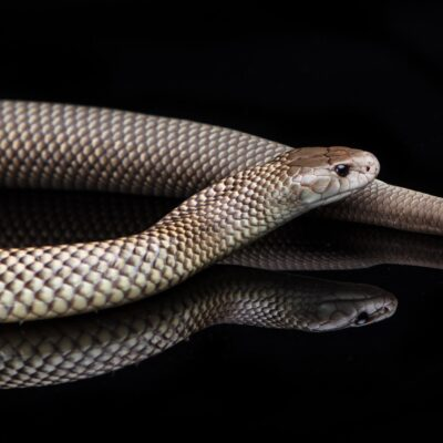 King Brown or Mulga snake